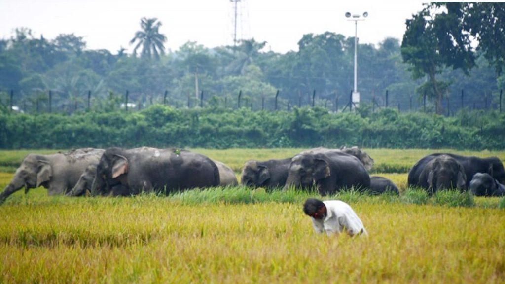 কুড়িগ্রামের সীমান্তবাসী ভারতীয় বন্য হাতির তান্ডবে অসহায়